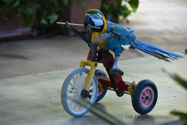parrot on bicycle