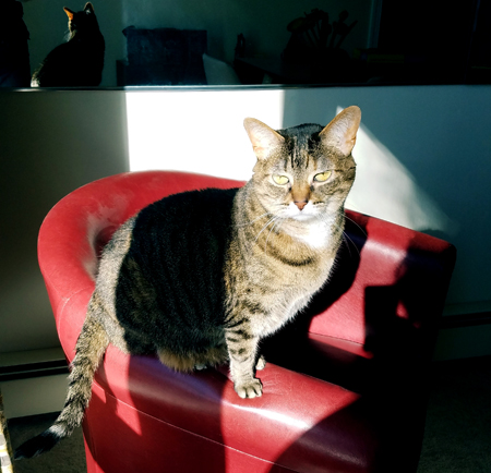 image of Sophie the Torbie Cat sitting on the arm of a red chair in a stream of sunshine