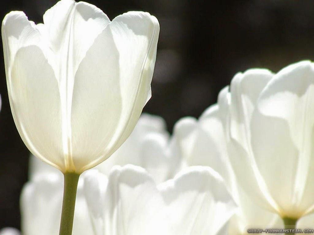 9 wallpaper tulip putih