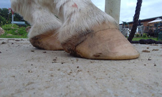 symptomatic PSSM horse hooves