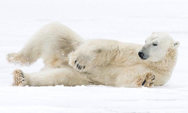 لقاء الدببة القطبية