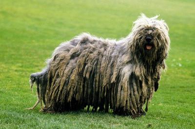 Top 10 Rare Dog Breeds - Rarest Dog Breeds |The Cozy Pet Blog