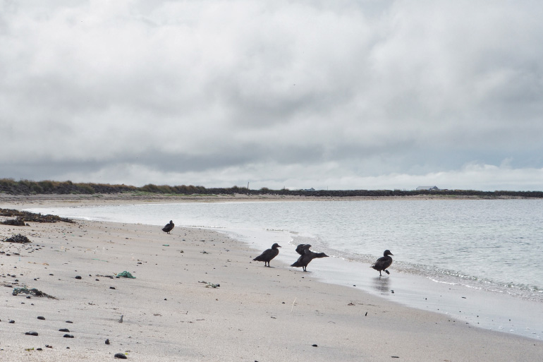 Séjour en Islande - observation ornithologique et plage de Garður