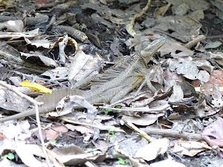 Basilic commun - Basiliscus basiliscus