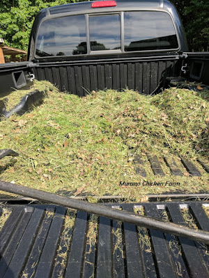 grass clippings drying for chicken coop bedding
