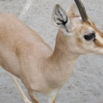 Chinkara Deer Baby For Sale In Pakistan - Pets For Sale In