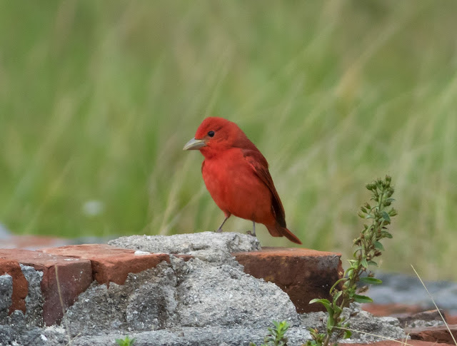 Summer Tanager - Dry Tortugas, Florida