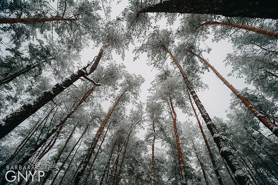 zimowy las, sosny, wysokie drzewa, Kozłowiecki Park Krajobrazowy, Niemce, leśne przygody, zima w lesie