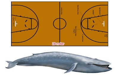 panjang paus biru