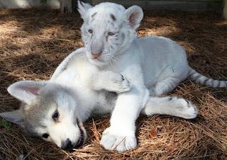 Lobo y tigre blanco cachorros