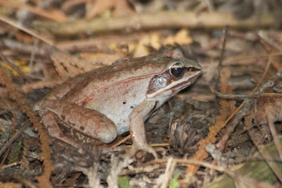 Wood Frog (Lithobates sylvaticus