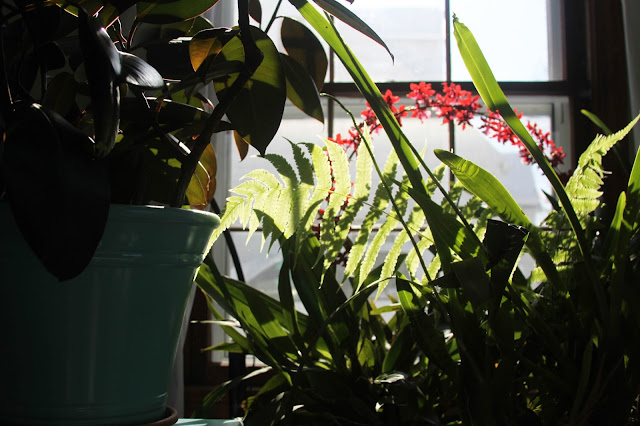 houseplants, sunshine, flowering plants, Anne Butera, My Giant Strawberry