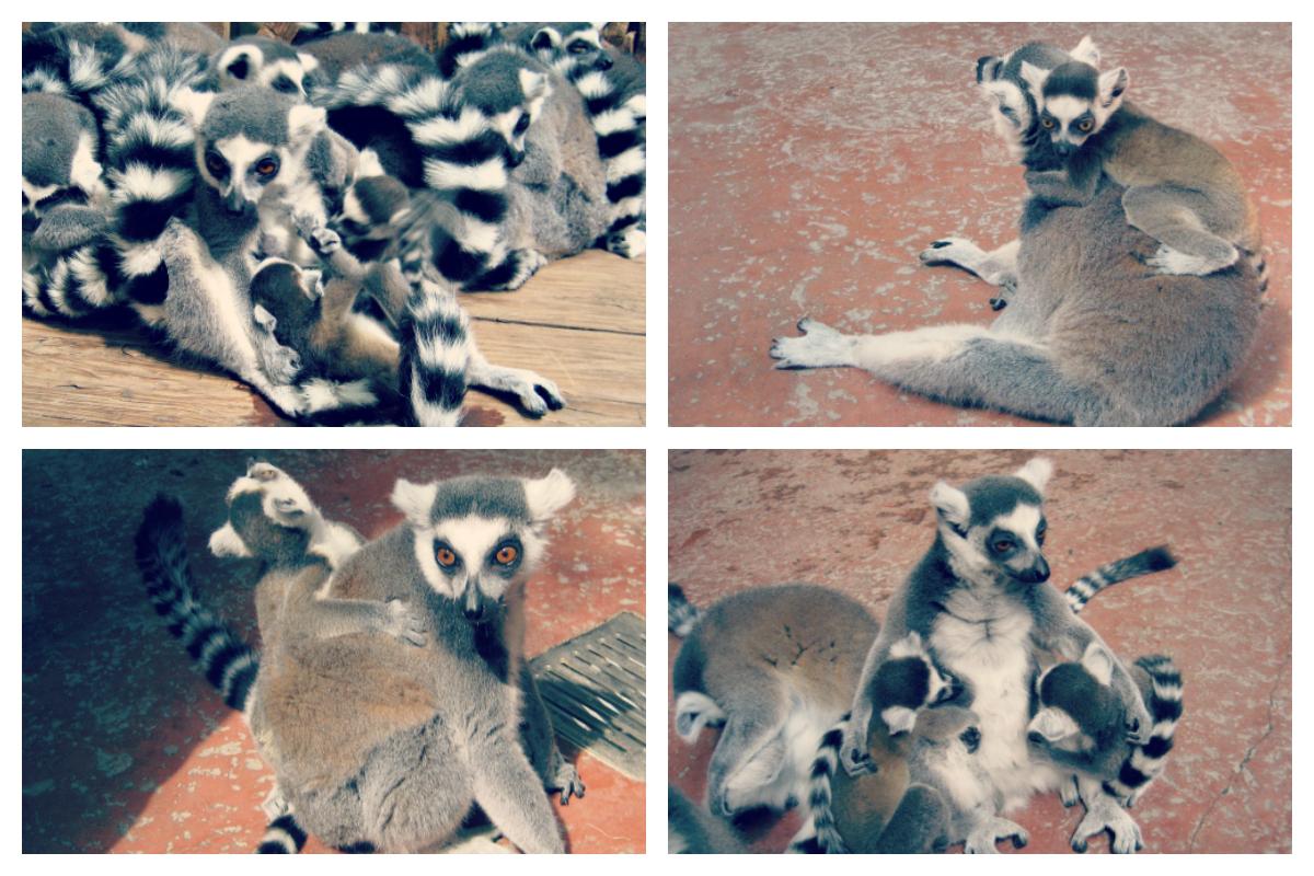 lemury/lemurs