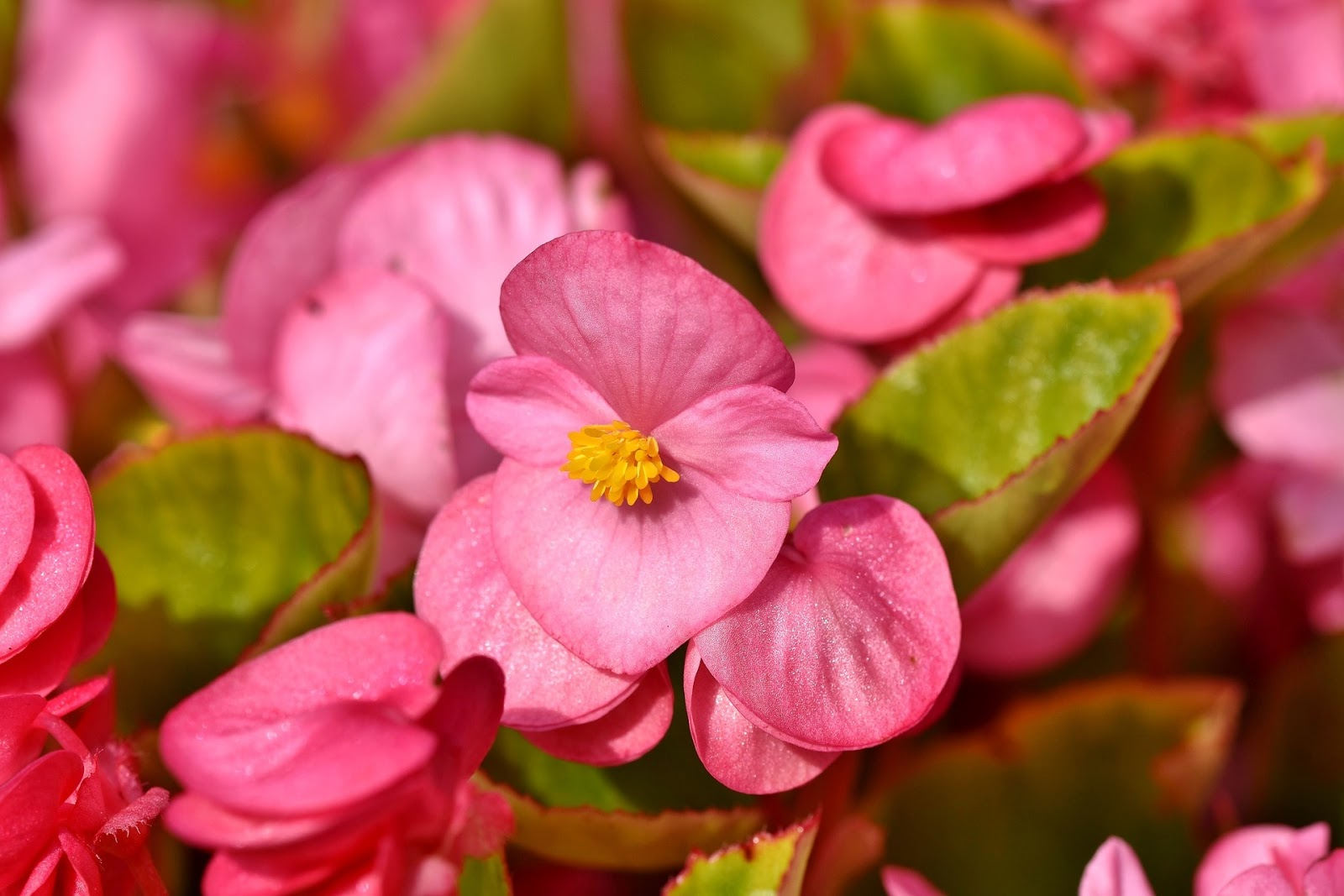 Kumpulan Gambar Bunga Cantik Untuk Wallpaper Hd Gambar Indah