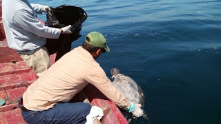 sea turtle, dead sea turtle,  El Salvador