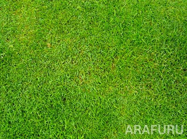 jenis-jenis-rumput-swiss.jpg