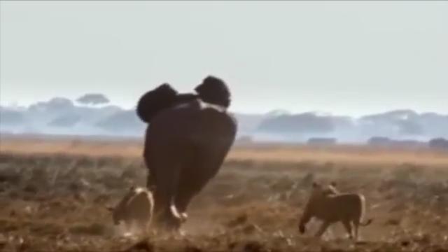 Singa Memangsa Gajah di Afrika