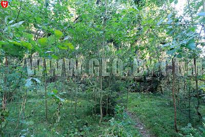 Дубрава Чапского. Поваленные ураганом ели