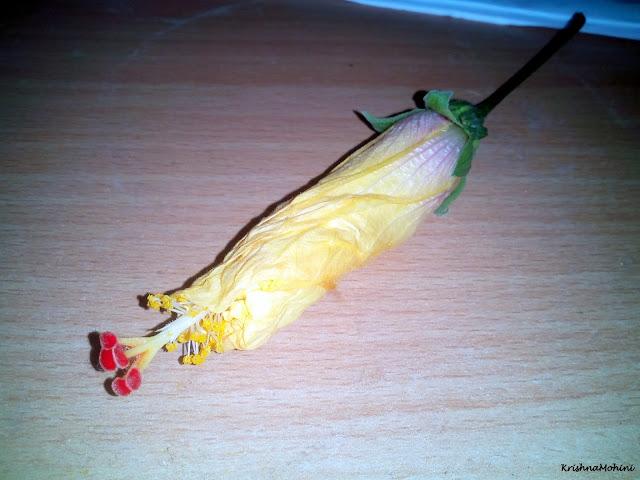 Image: Fading Yellow Hibiscus Flower