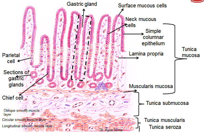 diagram of the tongue with labels mccb mcb wiring histology drawings: february 2014