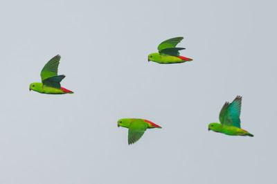 hanging parrots