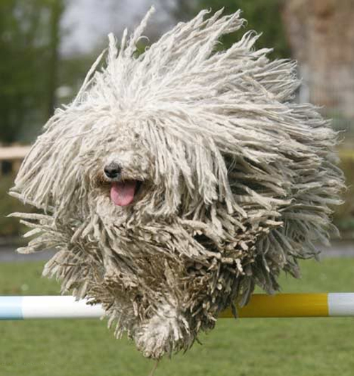Everything About Your Komondor Luv My Dogs