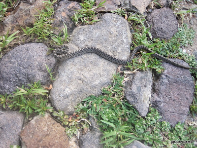 Serpiente en el Tepalo (¿Qué especie es?)
