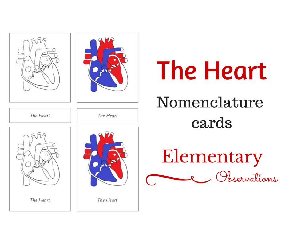 Learning About the Human Heart with FREE Printables and