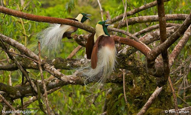 Gambar Burung Cendrawasih Kisar