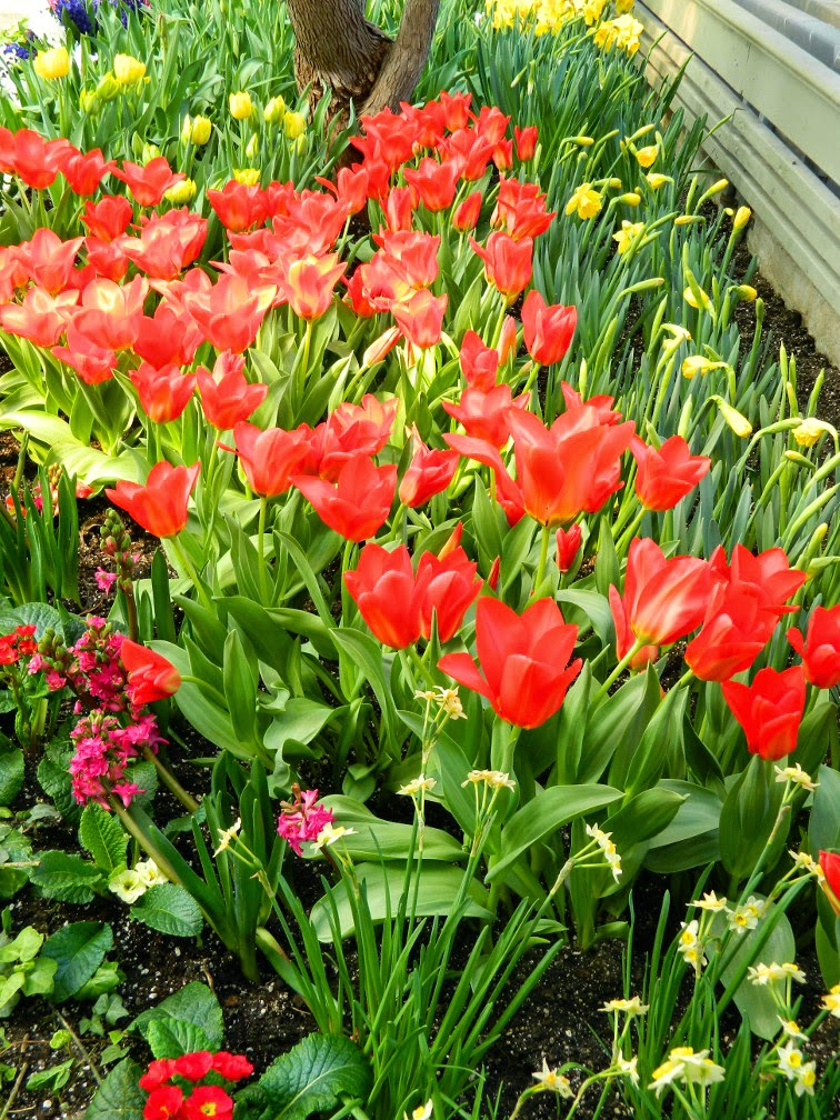 Red tulips Centennial Park Conservatory 2015 Spring Flower Show by garden muses-not another Toronto gardening blog