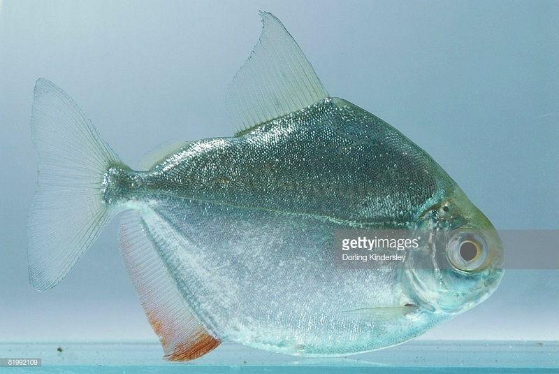 Gambar Jenis Ikan Silver Dollar Schreitmüller's silver dollar
