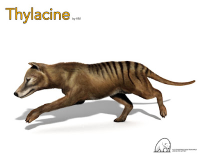 Thylacine by AM