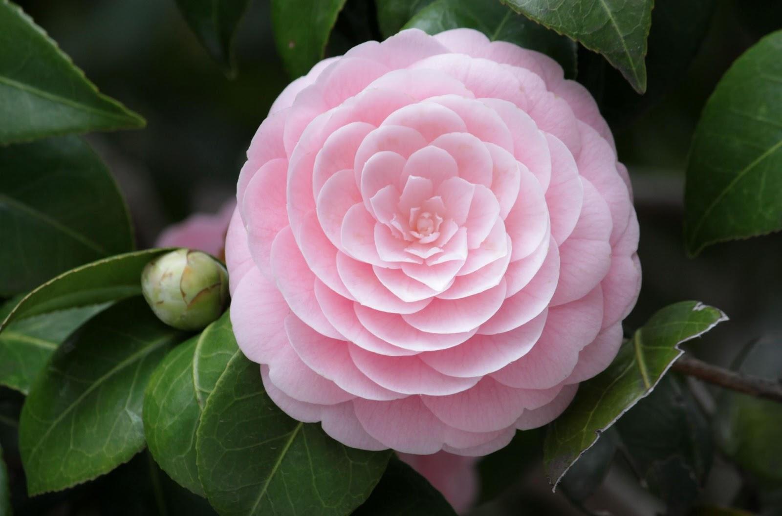 romantic flowers camellia flower. Black Bedroom Furniture Sets. Home Design Ideas