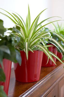 Spider Plant
