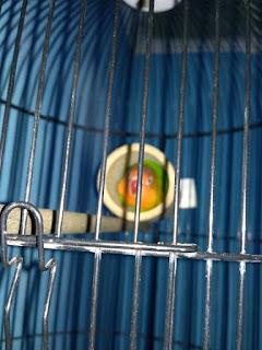 Bambu Setan Lovebird