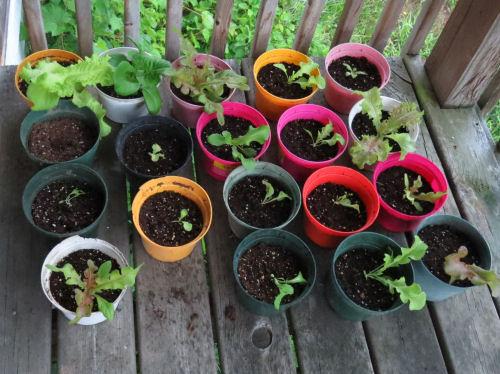 gourmet lettuce in pots