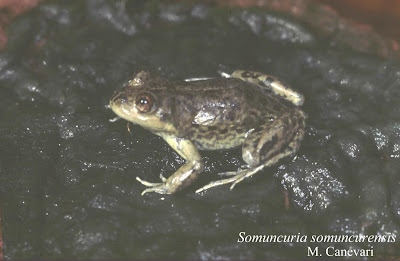 american endangered frogs