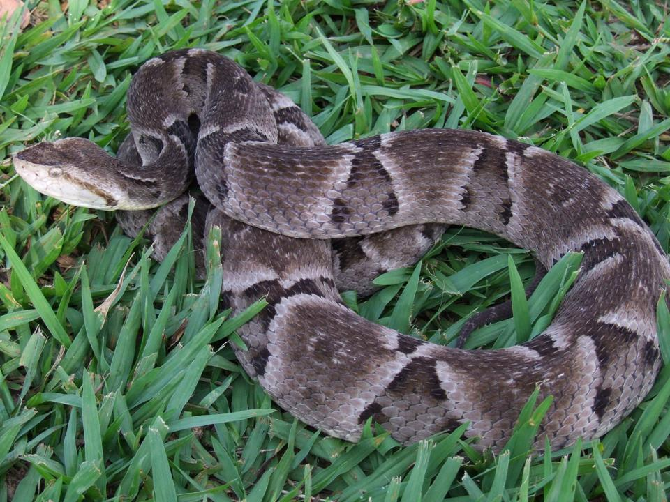 Cobra-Caiçaca (Bothrops moojeni)