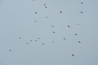 Massive Kettles of Vultures