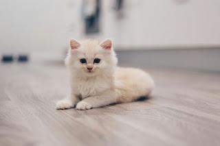 500 Nama Untuk Kucing Laki Laki Dan Perempuan Yang Bagus