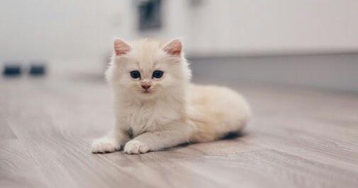 Nama Untuk Kucing Anggora Betina 81021 Nama Untuk Kucing Comel Lucu Dan Unik