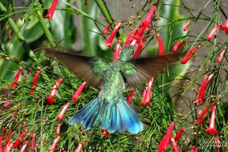 Colibri-serrirostris