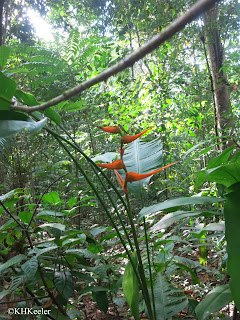 color in the forest, heliconia,