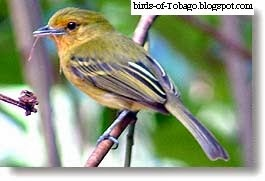 Yellow-brested Flycatcher (Tolmomyias flaviventris) Birds of Tobago