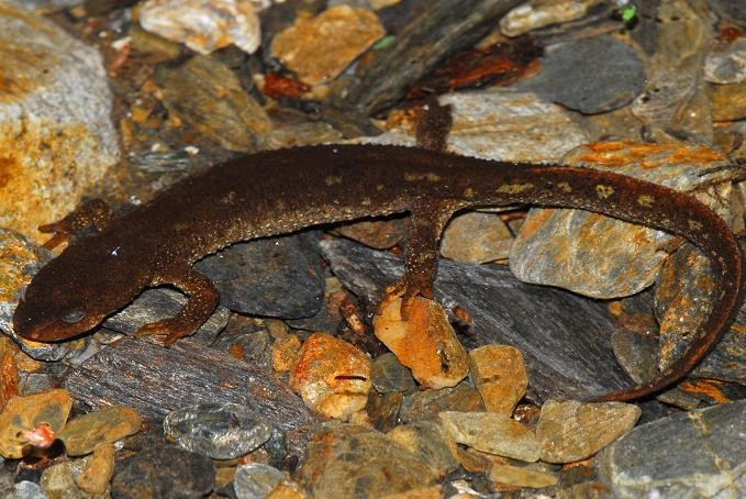 Amphibians: Montseny Brook Newt - Calotriton arnoldi