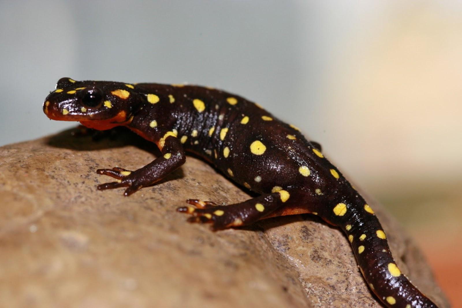 Amphibians: Kordestany Salamander (Neurergus microspilotus)