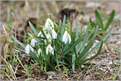 April 20, 2019 Driving to Wiarton where wild spring flowers are popping up everywhere.