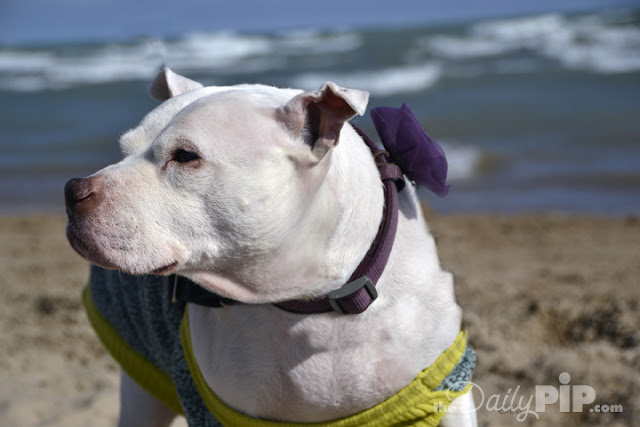 Pearl is a rescued pit bull who found a wonderful home