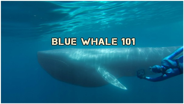How big is an actual blue whale? #FridayReflections