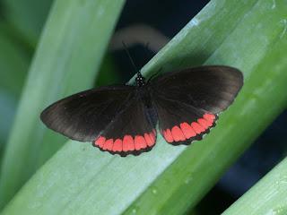 Biblis hyperia - Bande rouge